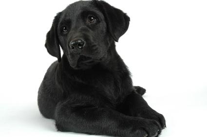 chien collier anti-aboiements