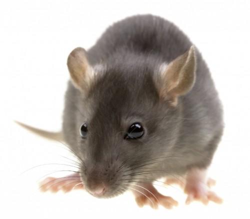 Est ce que mon rat est malade blog - Odeur que les rats detestent ...
