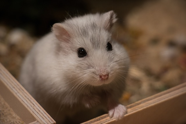 hamster-maladies