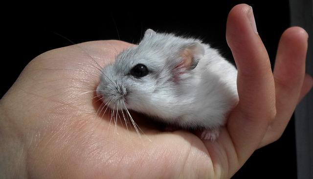 hamster-apprivoiser