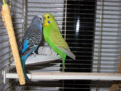 Pourquoi mon oiseau s 39 arrache les plumes blog for Maladie poules perte plumes