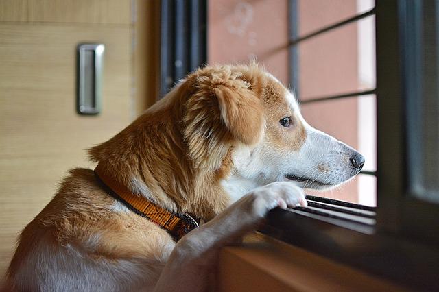 chien-solitude-anxiete-separation