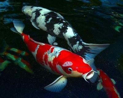 Quels poissons choisir pour un bassin d 39 ext rieur blog for Carpe koi rare