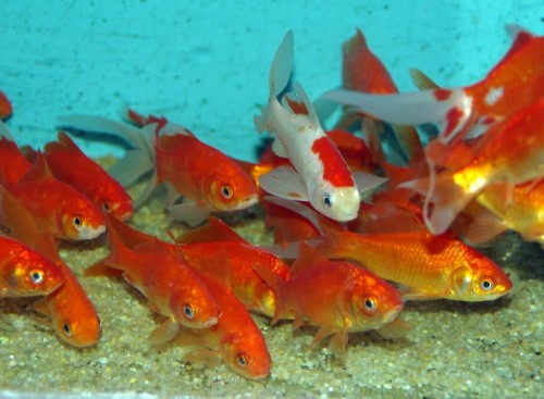 Quels poissons choisir pour un bassin d 39 ext rieur blog for Ou placer aquarium poisson rouge