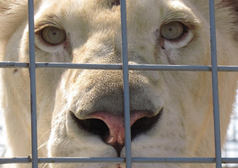 lion-cage-cirque