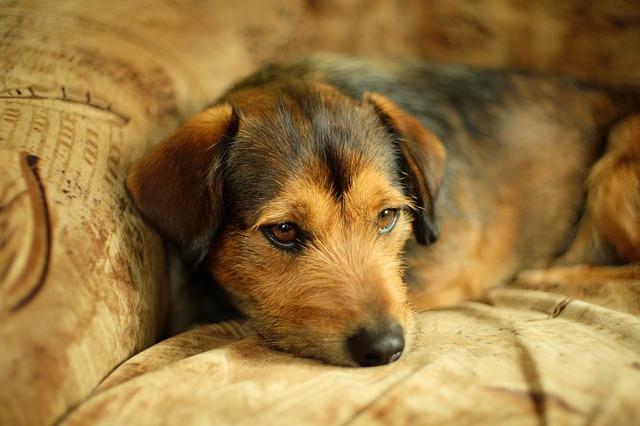 chien puces maison canapé