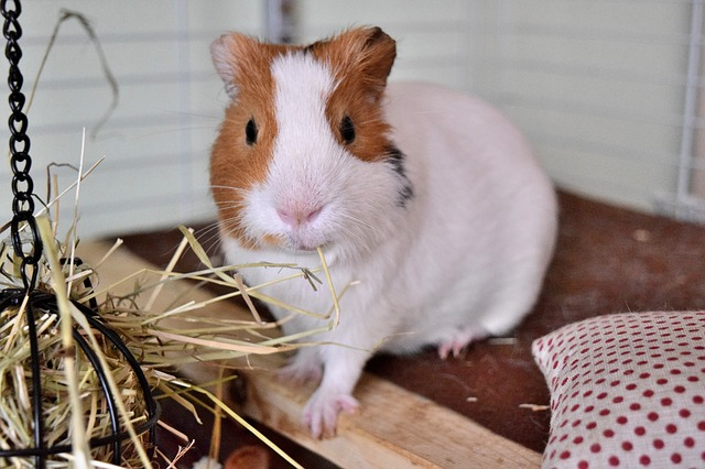 amenagement accessoires cage cochon inde