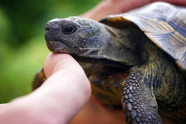 manipuler tortue de terre