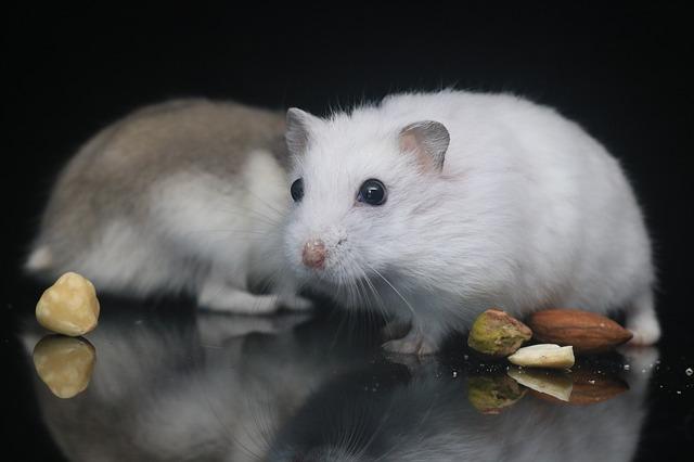 cohabitation-hamster