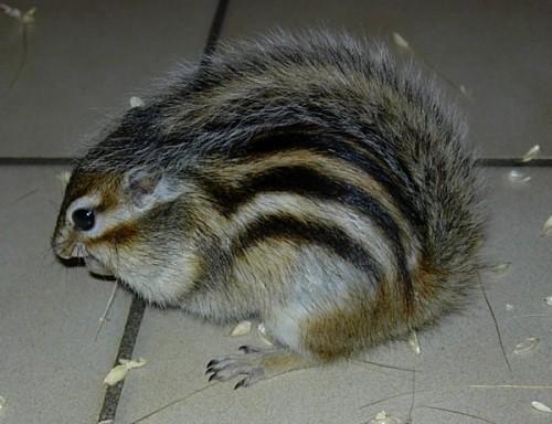queue écureuil de Corée
