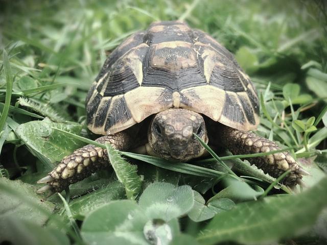 tortue terrestre