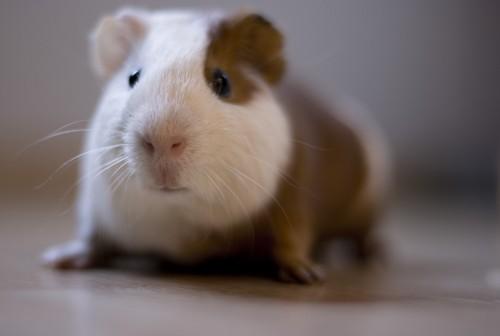 maladie respiratoire du lapin