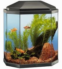 Adopter un poisson combattant blog - Aquarium 350 litres complet meuble et poissons ...