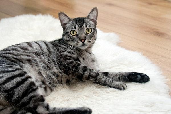 Comment soigner l'épilepsie chez le chat ?