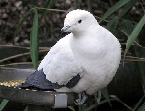 pigeon et reproduction