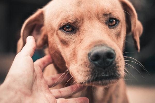 Comment soigner la gingivite de mon chien ?