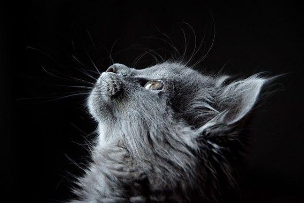 Cancer du chat