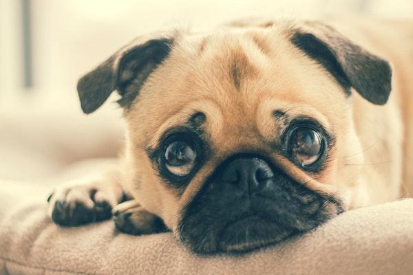 Pourquoi choisir un matelas à mémoire de forme pour chien ?