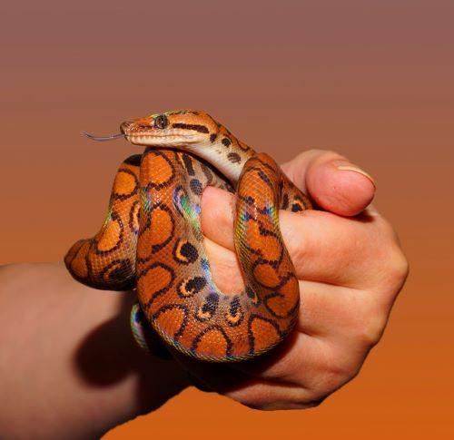 Tout savoir sur le serpent des blés