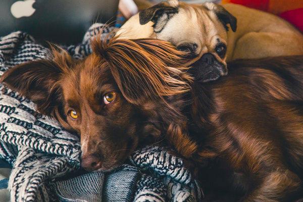 TOP 7 des couchages à Mémoire de Forme pour chien