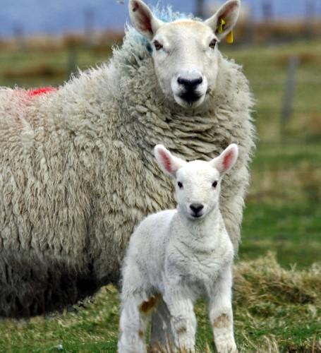 La brebis, l'agneau, l'accouplement et le mise bas