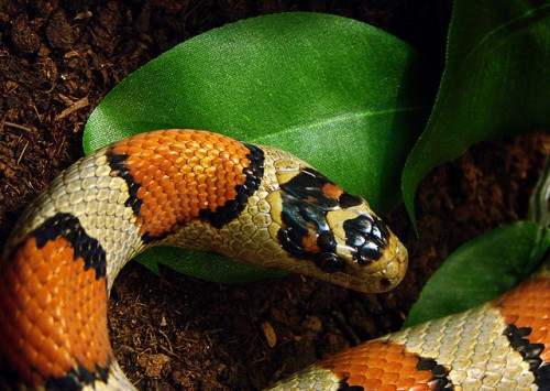 serpent et reproduction
