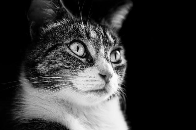 Hypertension chez le chat : causes, symptômes et..