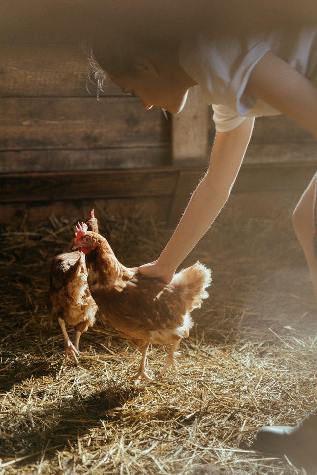Grippe aviaire : Tout savoir pour protéger mes poules domestiques