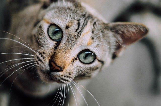 À quoi servent les moustaches des chats ou vibrisses ?