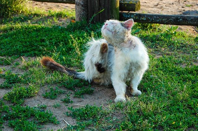 Dermatite chez le chat : causes, symptômes, soins et traitement