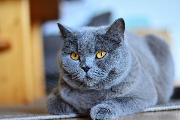 meilleures-races-de-chat-chartreux