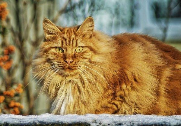 meilleures-races-de-chat-norvegien