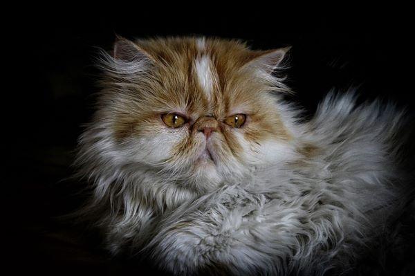 meilleures-races-de-chat-persan