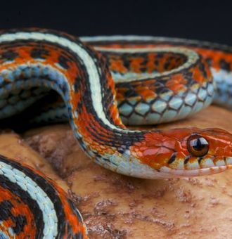 Serpent Jarretière : Tout Savoir sur lui !
