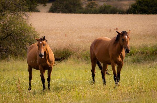 Association pour la protection des animaux : chevaux