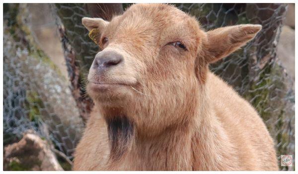 Association pour la protection des animaux : chèvre