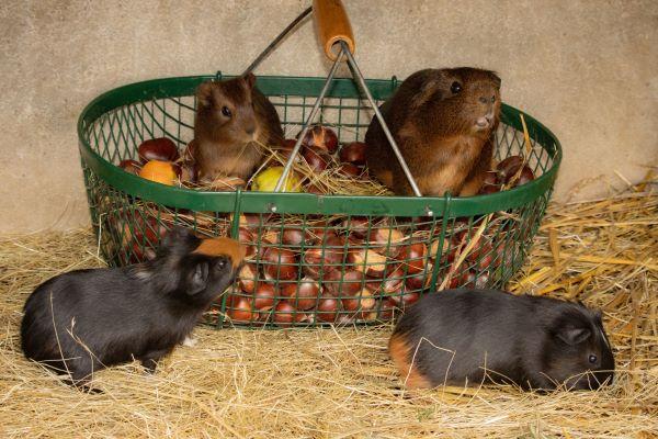 Association pour la protection des animaux : cochons d'inde