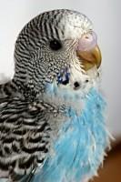 La perruche ondulée