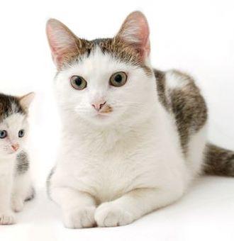 Jusqu'à quel âge grandit un chat ?