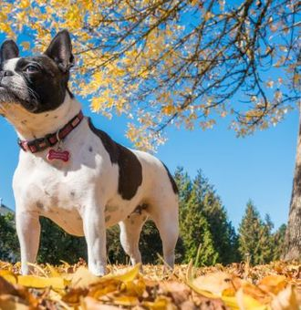 Le Boston Terrier : Tout Savoir sur lui !