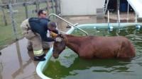 Tombé dans une piscine, ce cheval est sauvé par des pompiers