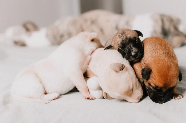 Gestation chez la chienne : comment préparer la naissance des chiot ?