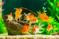 Mon premier aquarium pour poisson rouge