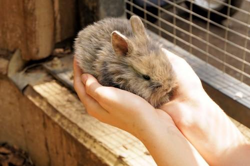 l'adoption des lapins d'élevage