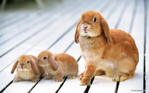 faire un élevage de lapins