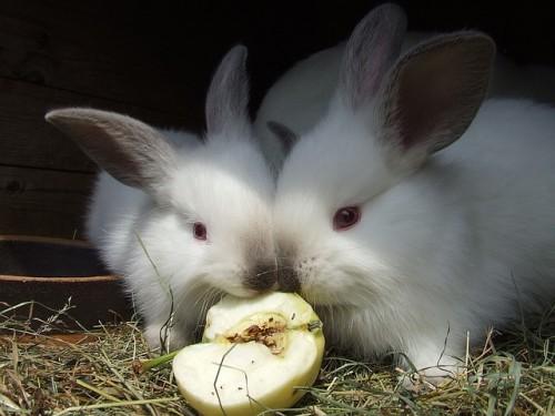 nourrir-lapins-élevage-fruits-légumes