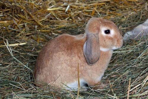 gestation de la lapine et reproduction des lapins d'élevage
