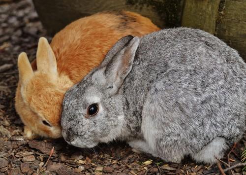 reproduction et accouplement des lapins d'élevage