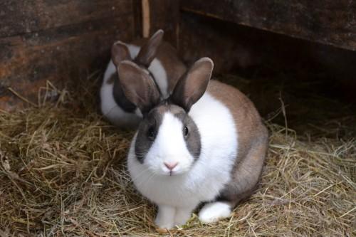 reproduction des lapins d'élevage maturité sexuelle