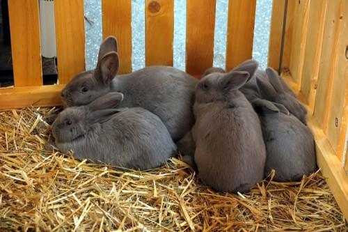 reproduction des lapins d'élevage et mise-bas